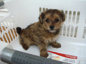 Toy Chocolate Brown Shorkie Puppies - 1 Female Left !!!