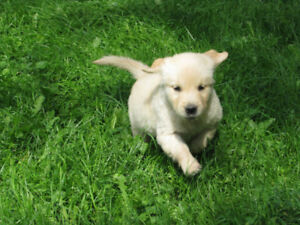 Golden Retriever Puppies -Great Family Pets