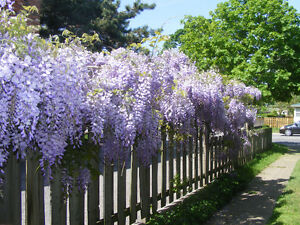 Wisteria for Sale