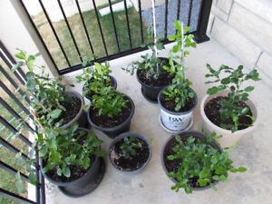 Range of Kaffir Lime Plant