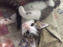 Cute kittens (vaccinated,chipped) Thornton Maitland Area Preview
