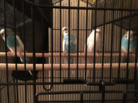 4 parakeet for sale with cage and nest box