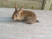 BABY RABBITS £15 EACH OR BOTH FOR £25
