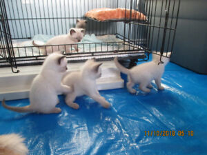 Seal Point Siamese Kittens - B