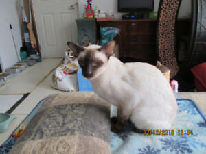 L@@K! CHOCOLATE POINT SIAMESE MALE CAT FOR SALE