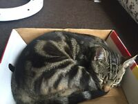 Tabby cat looking for a new home