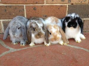 Mini Lop Rabbit+Food+Double Storey Hutch+Acccessories-PH  Blacktown Blacktown Area Preview