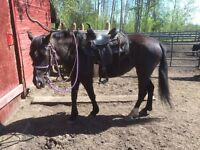 5 yr old black Tennessee walker filly for sale