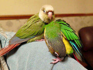 ** ♥☆♥ Conure Babies ❤  with Cage ♥☆♥ **