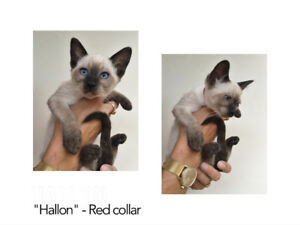 Classic Siamese Kittens All SOLD Taking submissions for waitlist