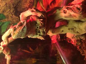 Dragon barbue à vendre
