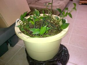 FREE PLANT TO GOOD HOME - ASIAN VINE WITH LARGE LEAVES