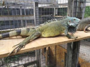 Blue head iguana , Purple camouflage iguana. RARE MORPHS!!!