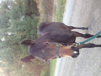Selling quarter horse filly