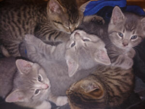4 maine coon x kittens left!