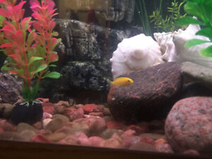 Cichlids,  guppies,  Rams-horn snails for sale