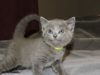 REGISTERED RUSSIAN BLUE KITTENS
