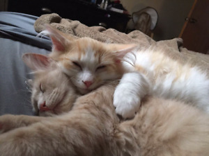 Two 1 1/2 year old cats, free