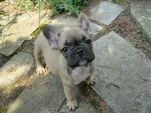 ****FRENCH BULLDOG PUPPIES****