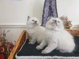 2 Gorgeous Fluffy Blue mitted Ragdoll kittens