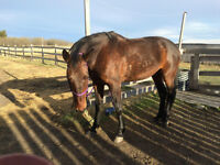 Horse for Sale..lovely 2007 16 hh green broke mare.VIDEO added!