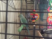 Indian ringneck approx 10 months old with cage + toys