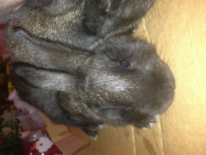 Black baby bunnies for Christmas