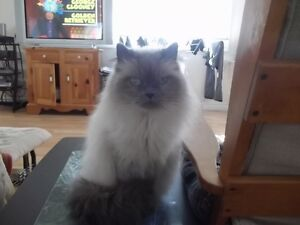 BELLE CHATTE HIMALAYENNE BLUE POINTE   PURE RACE