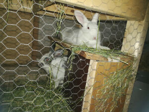 Pair of Bunnies for Sale