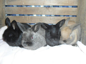 SMALL BREED BABY BUNNIES FOR SALE!