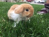 Purebred Baby Holland Lop Bunnies For Sale!