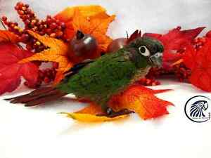 Babies Conure Green Cheek