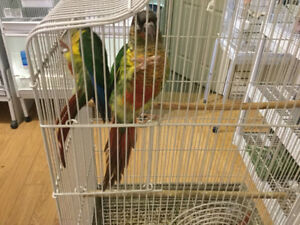 CONURE AND COCKATIEL FOR SALE  AT PET MARKET