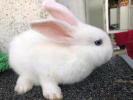 5 weeks old rabbit for sale
