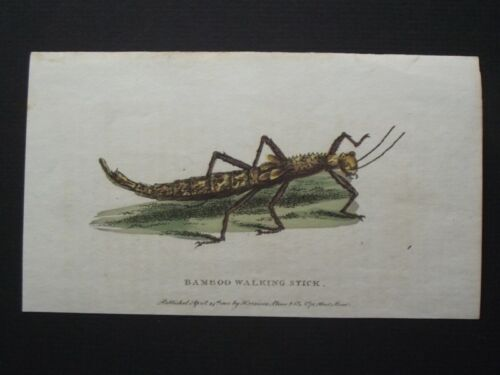 GREAT LOCUST - ORIGINAL HARRISON CLUSE 1800 HAND COLORED COPPER PLATE ENGRAVING
