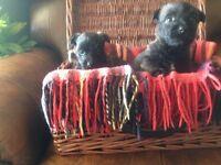 Scottish Terrier X West Highland white puppies