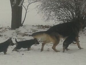 BERGER ALLEMAND CHIOTS PUR-GERMAN SHEPHERD PUPPIES PURE