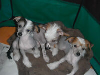 3 BEAUTIFUL  HAIR-LESS CHINESE CRESTED PUPPIES LEFT