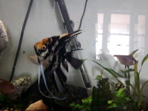 Beautiful mature angelfish