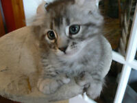 Chatons Highland Lynx a vendre
