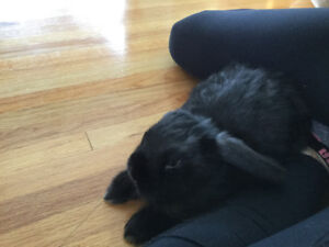 Holland lop free to good home