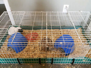 Two male guinea pigs complete with cage and supplies.