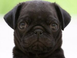 Looking for a black male pug