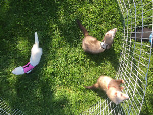 3 Ferrets w/ Double Critter Nation Cage