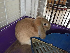 Female 6 month old rabbit
