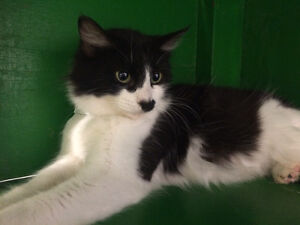 """Female young cat black and white """"CHELSEA"""" London Ontario image 3"""