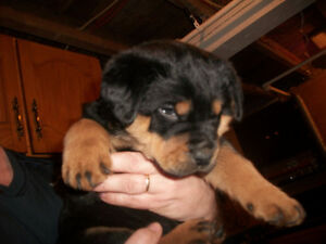 FEMALE AND MALE ROTTWEILER