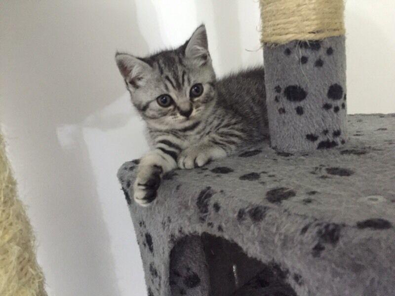 Beautiful Silver Tabby Bsh British Shorthair Kittens For