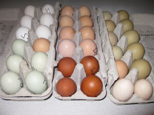 Fertile Heritage Chicken Eggs