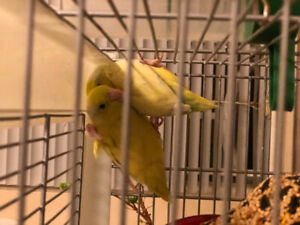 Prover pair of parrotlets